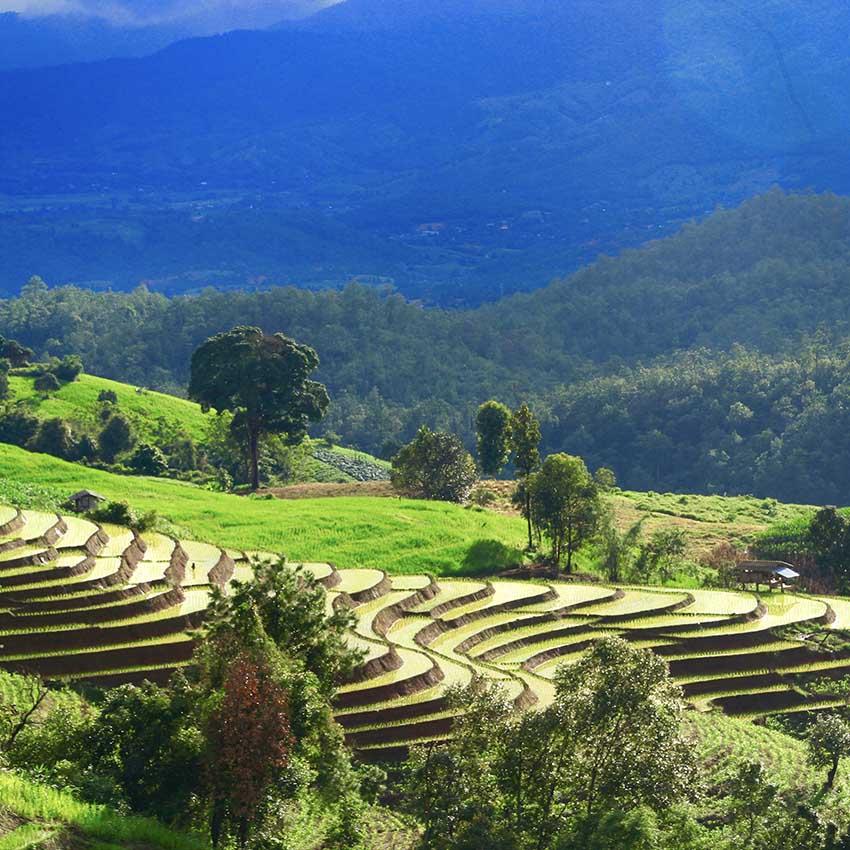 Rice paddies Thailand