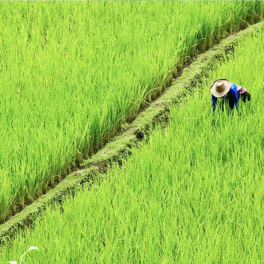 Rice fields Thailand